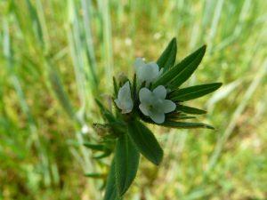 Acker-Steinsamen (Buglossoides arvensis)