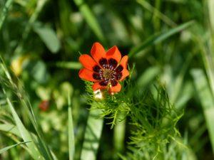 Sommer-Adonisröschen (Adonis aestivalis)